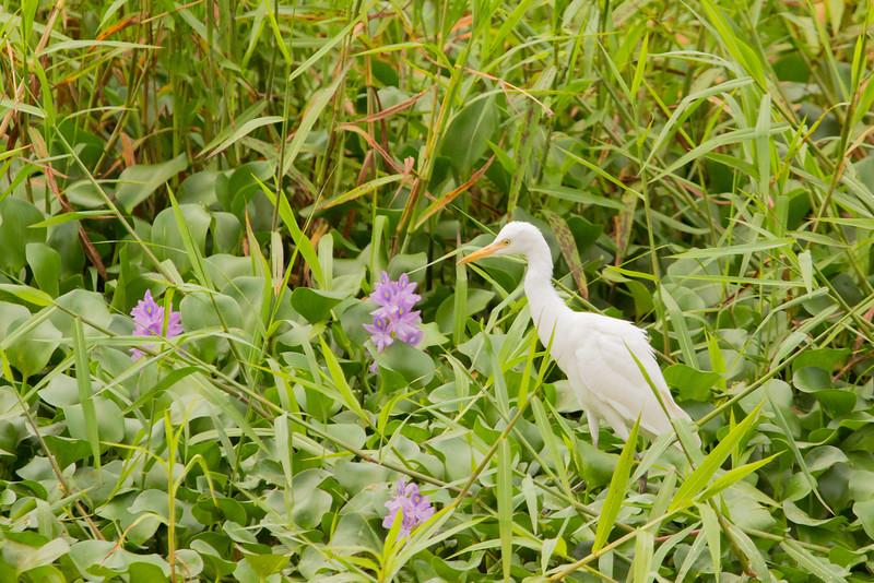 Great egret in reeds