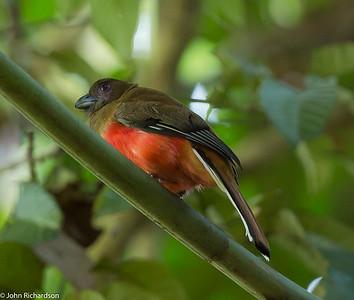 Diard's Trogon female (Harpactes diardii) - Rainforest Discovery Center