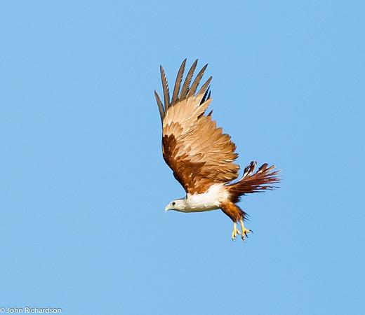 Brahminy Kite (Haliastur indus) - Kinabatangan Wetlands