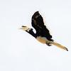 Oriental Pied Hornbill In Flight II