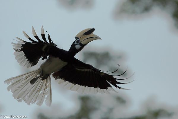 Pied Hornbill (Anthracoceros albirostris) - Labuk Bay Proboscis Monkey Sanctuary
