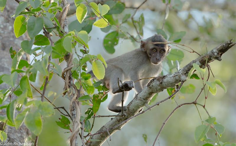 Long-tailed Macaque (Macaca fascicularis) - Kinabatangan Floodplain