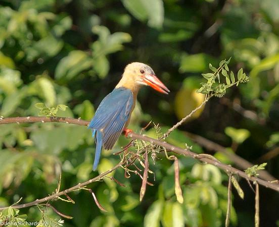 Stork-billed Kingfisher (Pelargopsis capensis) - Kinabatangan Floodplain