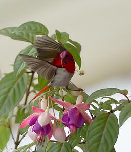 Temminck's Sunbird (Aethopyga temminckii) - Mt. Kinabalu National Park
