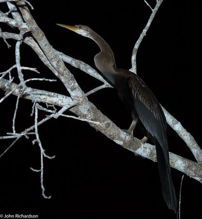 Oriental Darter (Anhinga melanogaster) - Kinabatangan Wetlands