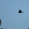 Asian Black Hornbill
