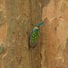 Lantern Bug ((Pyrops candelaria) ) - Danum Valley Conservation Area