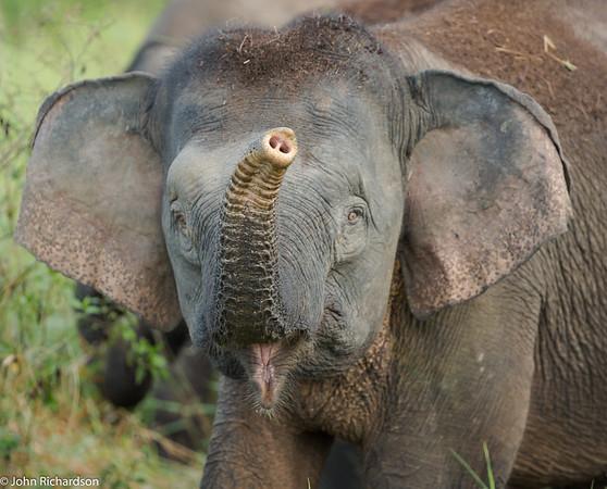 Pygmy Elephant (Elephas maximus borneensis) - Tabin Wildlife Reserve