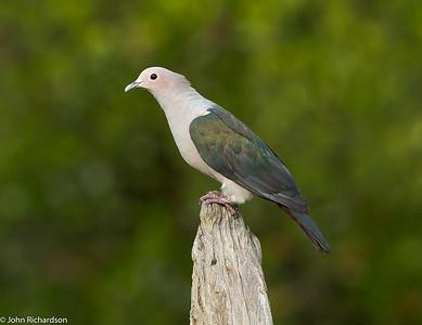 Green Imperial Pigeon (Ducula aenea)  - Labuk Bay Proboscis Monkey Sanctuary