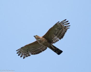 Wallace's Hawk-Eagle (Nisaetus nanus)  - Tabin Wildlife Reserve