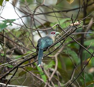 Black-bellied Malkoha (Phaenicophaeus diardi) - Tabin Wildlife Reserve