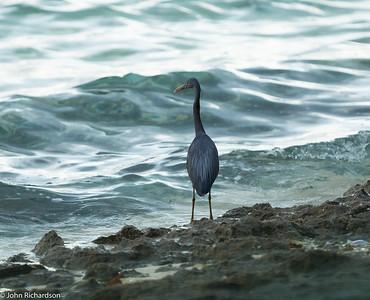 Pacific Reef Egret (Egretta sacra) - Mataking Island