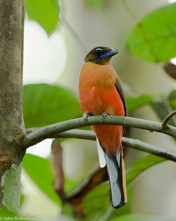 Scarlet-rumped Trogon- Rainforest Discovery Center