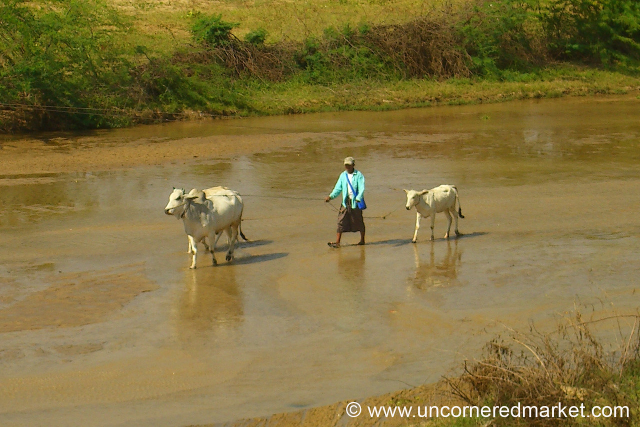 Cows In the River - Bagan, Burma