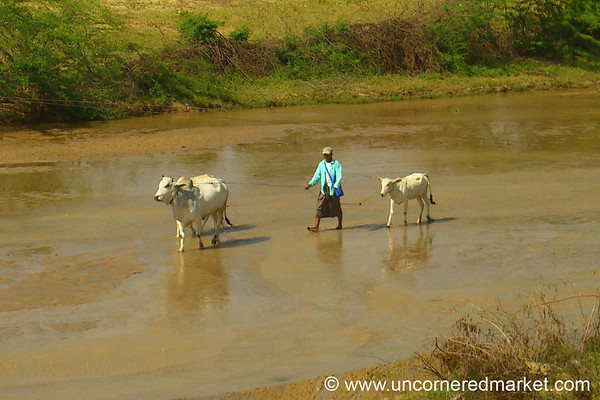 Cows In the River - Bagan, Burma