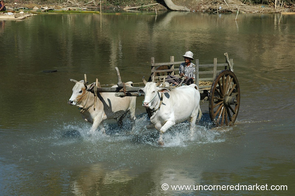 Oxen on the River - Toungoo, Burma