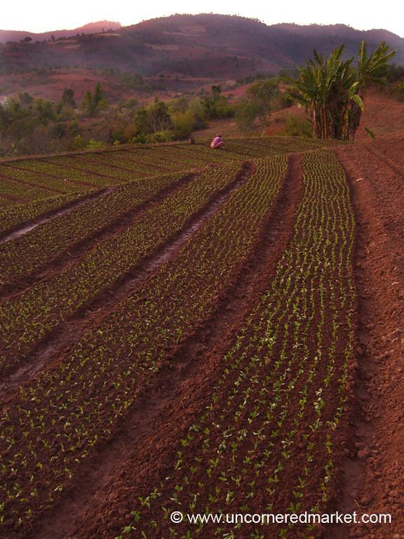 Row of Plants - Yu Par, Burma