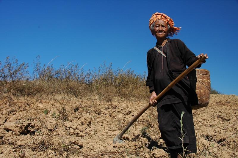 Woman Harvesting Ginger - Kalaw, Myanmar