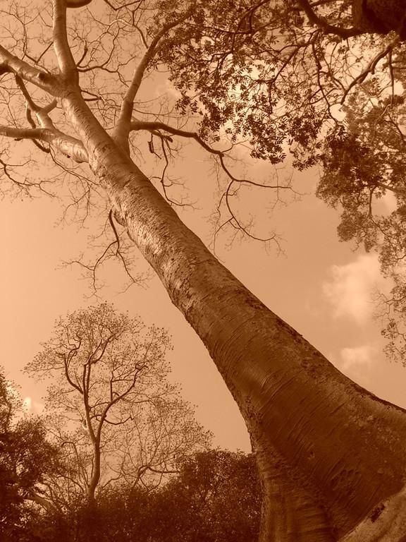 Tall Tree at Ta Prohm - Angkor, Cambodia