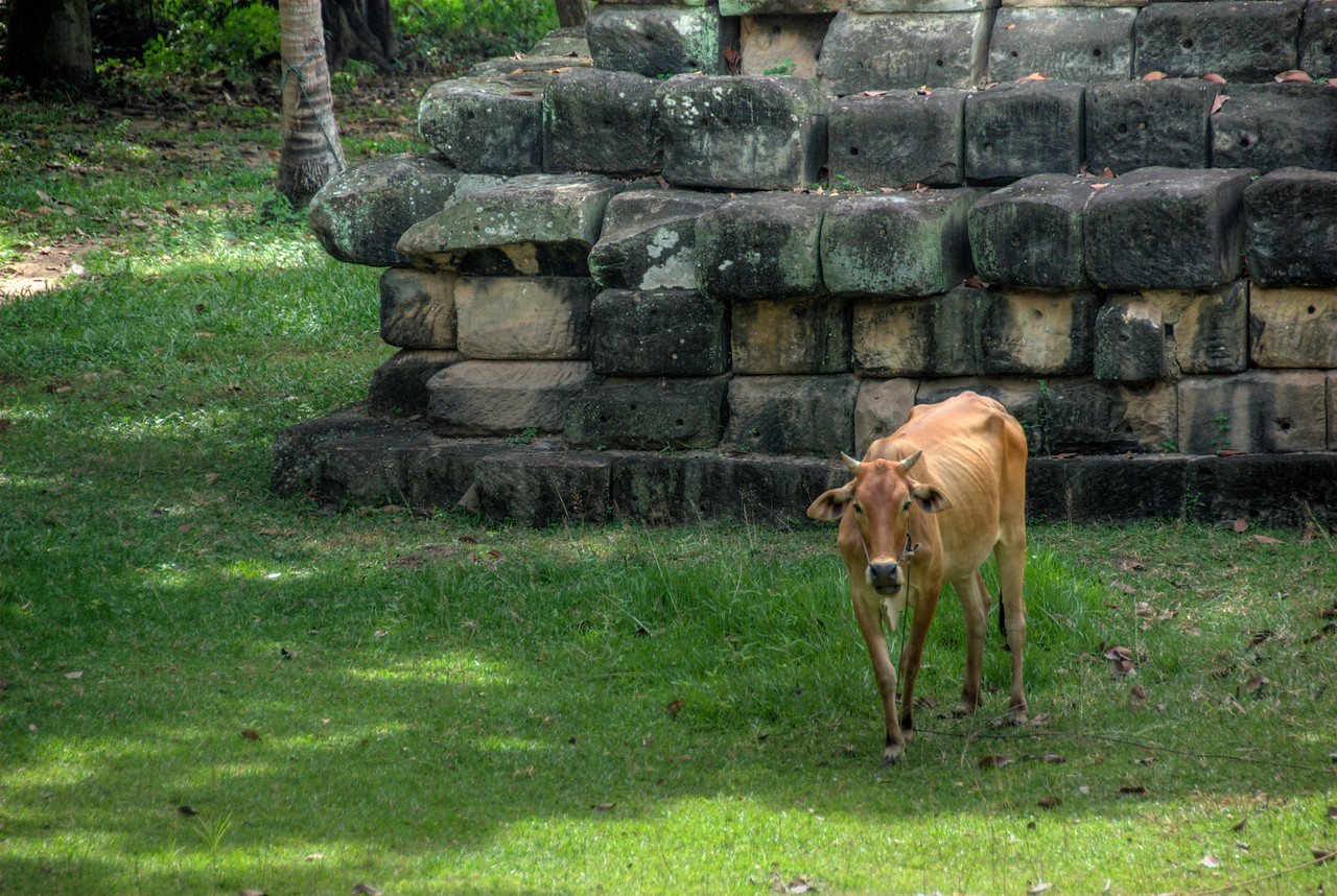Close-up of cow inside Angkor Wat Temple