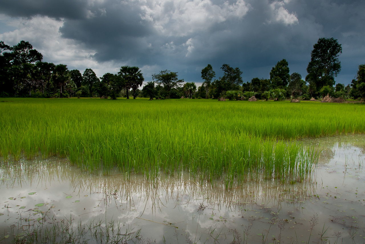 Vast rice field near Angkor Wat
