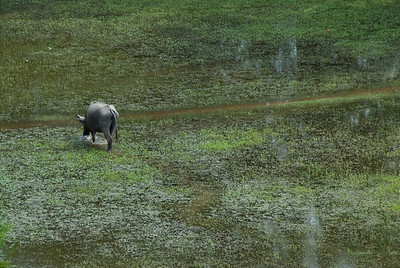 Isolated water buffalo at a rice field near Angkor Wat in Cambodia