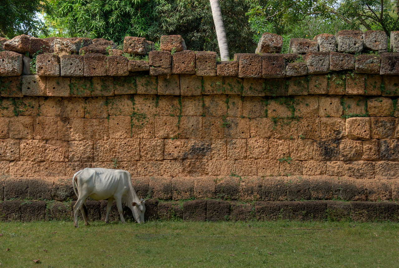 Feeding cow inside Wat Atewa in Angkor Wat
