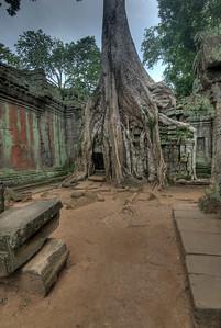 Tree in a wall inside Ta Prohm in Angkor Wat Temple