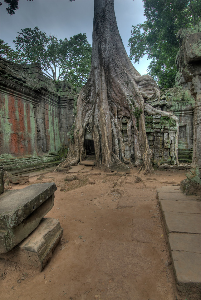 Tree in a wall inside Ta Prohm in Angkor Wat Temple