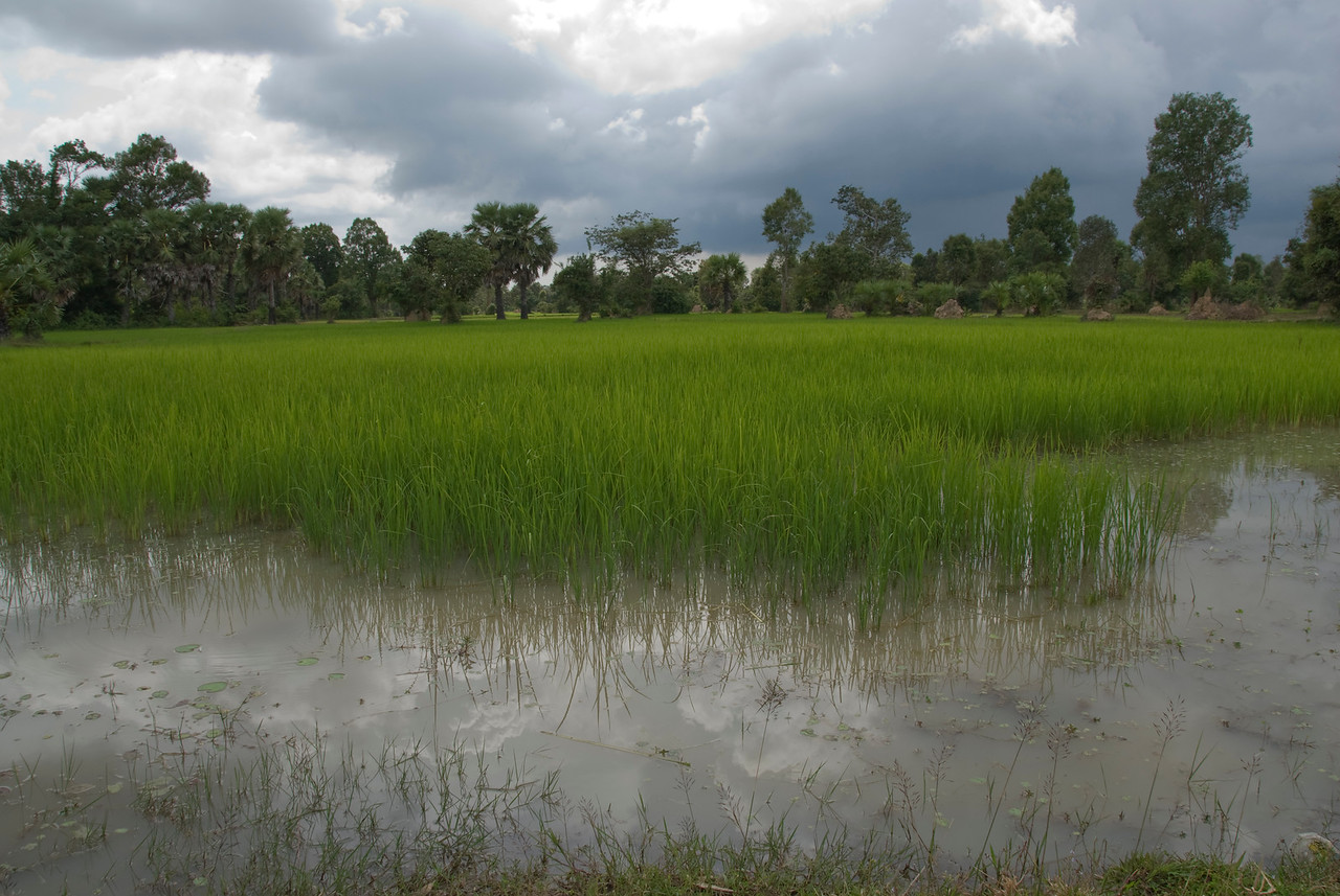 Expansive rice field in Angkor Wat, Cambodia