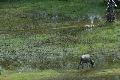Water buffalo drinking in an empty rice field near Angkor Wat