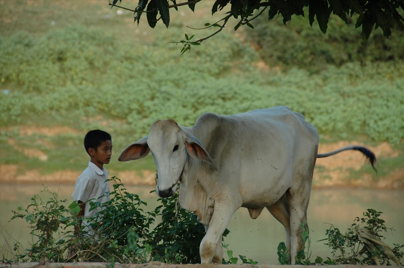 Boy Tending A Cow - Battambang, Cambodia