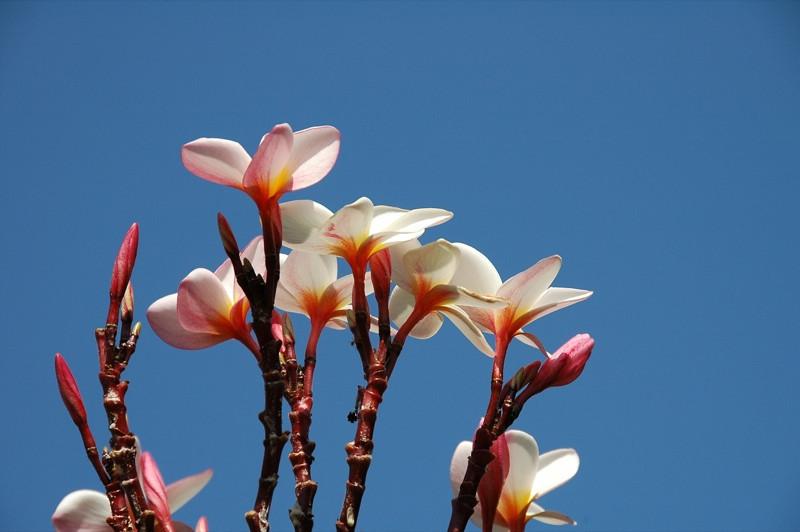 Plumeria Flowers - Phnom Penh, Cambodia