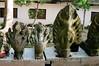 Siem Reap - Angkor Conservitory - Cobras and Garuda