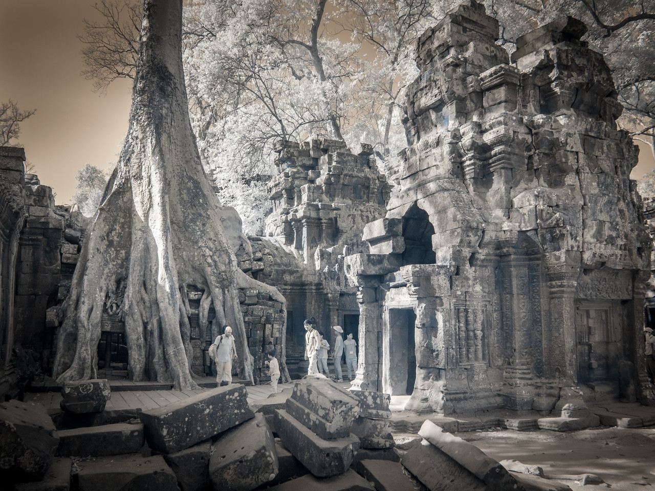 A silk cottonwood tree growing on the temple at Ta Prohm.