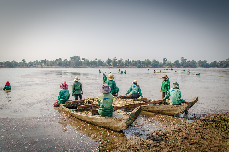 "Women collecting ""seaweed"" from Srah Srang. This is an ancient temple reservoir."