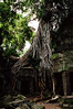 Siem Reap - Ta Prohm - Vine Choking Tree