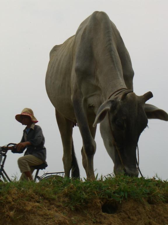 Grazing Cow - Battambang, Cambodia