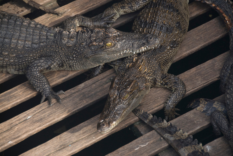 Shot of baby crocodiles at a Crocodile Farm in Tonle Sap