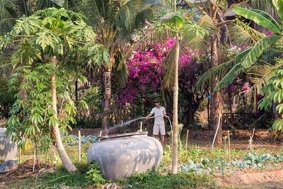 Garden - papaya tree