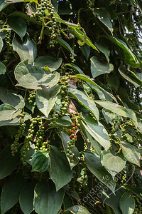Kampot - black pepper farm