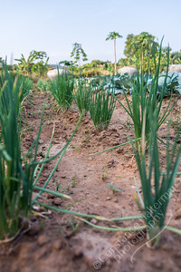 Garden - onions