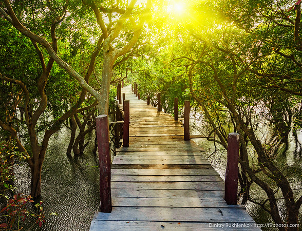 Wooden bridge in flooded rain forest jungle of mangrove trees