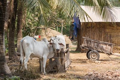 Village - cows
