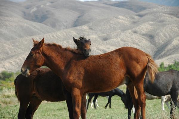 Nuzzling Horses - Lake Issyk-Kul, Kyrgyzstan