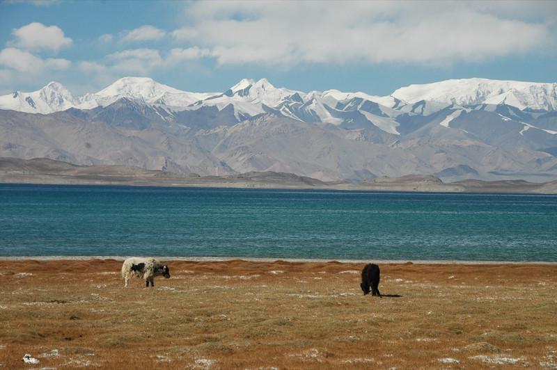 Yaks Near Kara Kul Lake - Pamir Mountains, Tajikistan