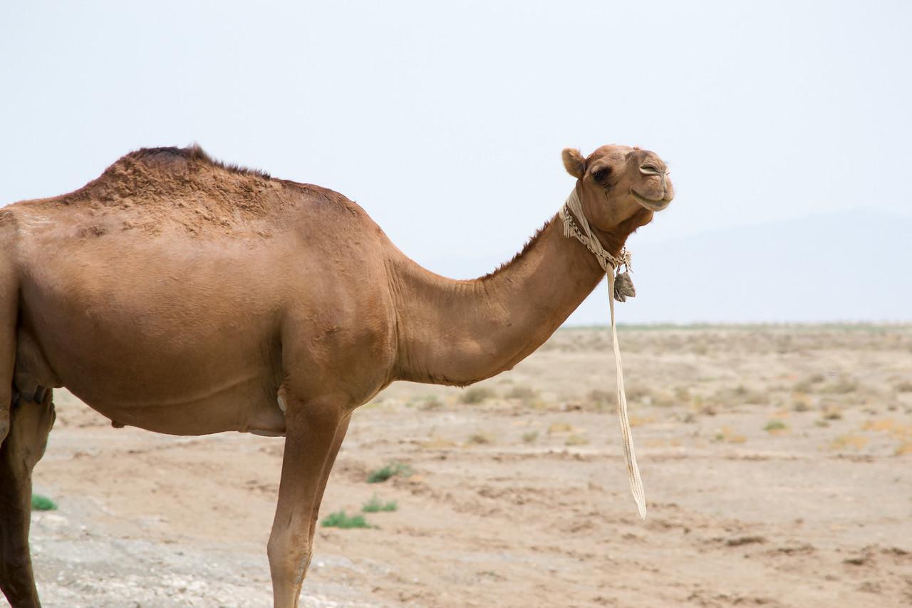 Camel in Turkmenistan