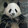 First giant panda enclosure