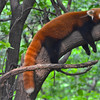 Red panda is hot...and exhausted