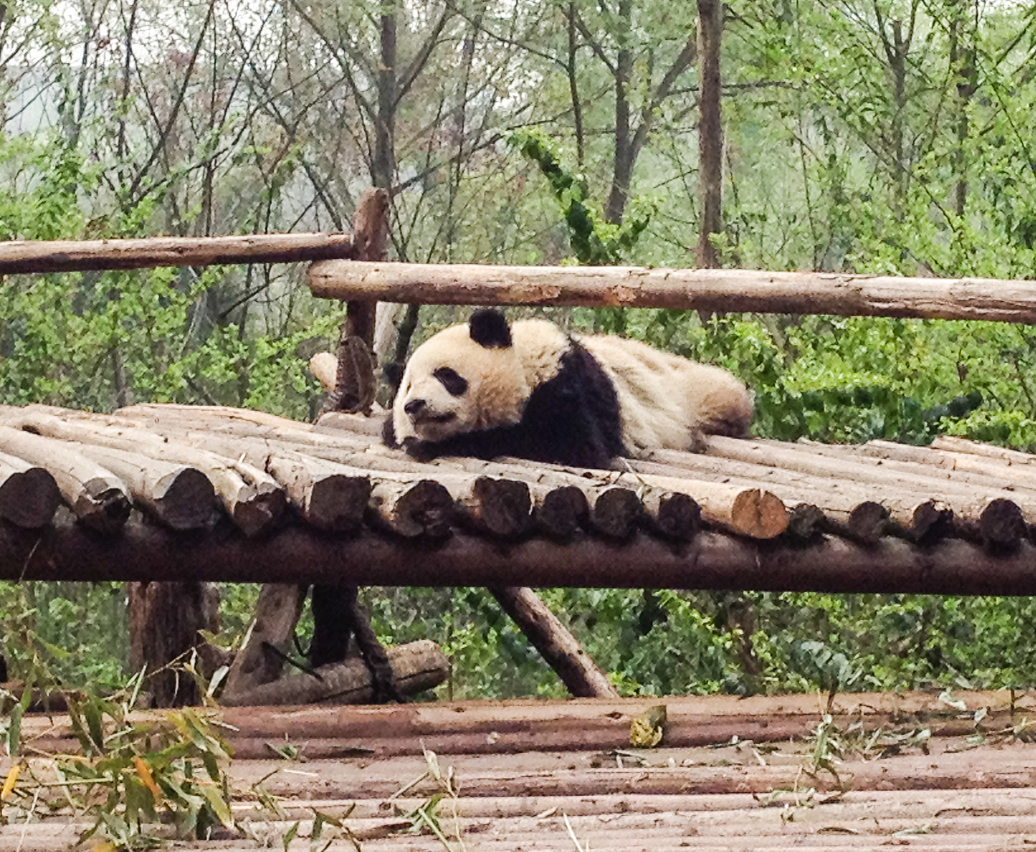 A panda rests on a wooden platform at the Chengdu Panda Base, one of the places for seeing pandas in China.